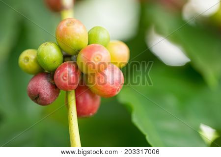 Arabica Coffee Beans Ripening On Tree In North Of Thailand