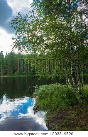 Karelian Birch On The Shore Of The Lake.