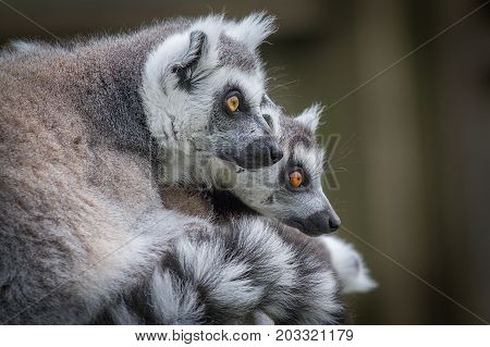 Close up of two ring tailed lemurs looking towards the right in side profile and staring inquisitively