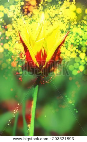 Single red-yellow tulip in the spring garden. Shimmering background. Beauty photo filter. Natural theme.