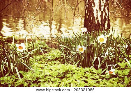 White daffodils nettle and birch on the lake shore. Spring scene in the St. james's park London. Yellow photo filter.