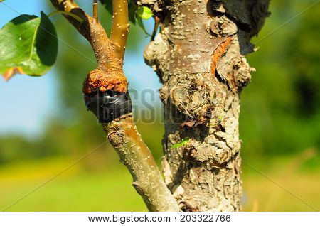 Close up on grafting pear tree branch in summer. Organic gardening.