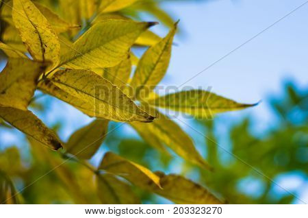 Tree branch with yellow autumn leaves in a forest on mountain Miroc, Serbia