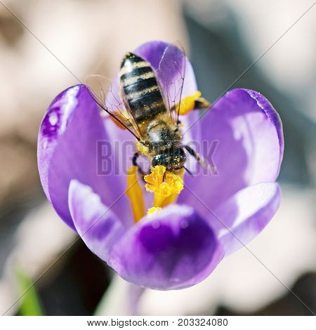 Macro photo of bee pollinate crocus heuffelianus flower. Natural scene. Beauty photo filter.