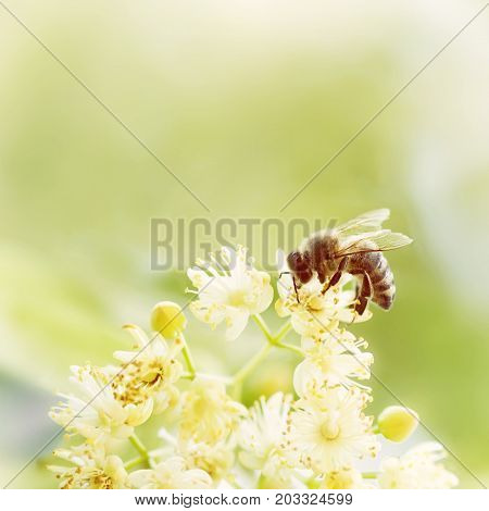 Honey bee pollinate yellow flower in the spring meadow. Seasonal natural scene. Yellow photo filter.