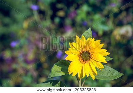 Solitary yellow blooming brown hearted sunflower in the foreground of purple and violet flowering wild plants on a sunny day in the Dutch summer season.