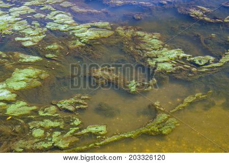 Green algae in the water surface. Environmental pollution