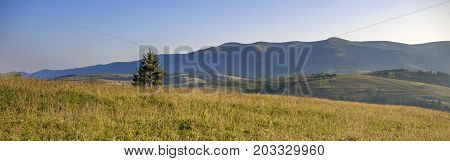 Carpathian fir on the hill in the rays of the rising morning sun. Panorama of the Carpathian mountains