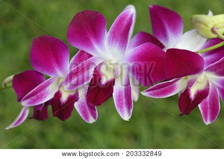 a purple orchid flowers on green background
