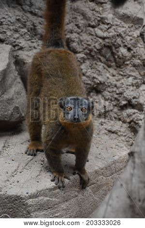 Amazing Brown Collared Lemur on a Rock