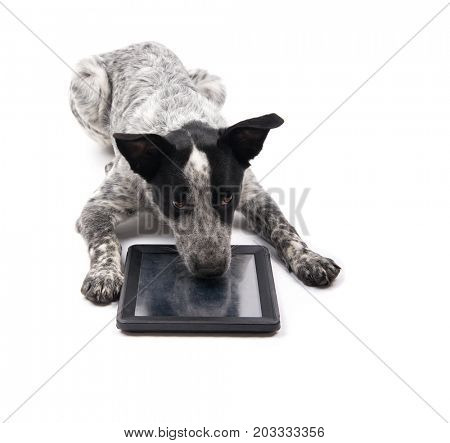 Black and white spotted dog lying down with her nose on a tablet computer, looking bored, on white background