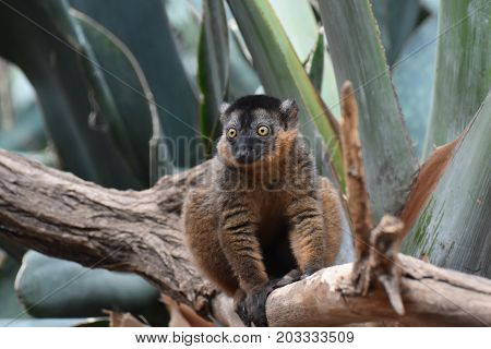 Precious Close Up of a Collared Lemur in a Tree