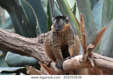 Adorable Yellow Eyes on this Collared Lemur