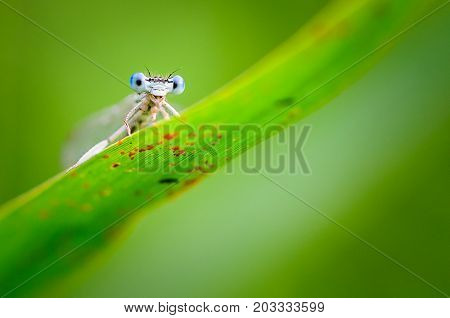 Beautiful Dragonfly Platycnemis Pennipes - White-legged Damselfly