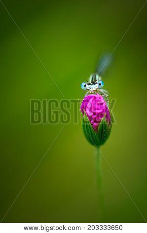 Cute Dragonfly Platycnemis Pennipes - White-legged Damselfly