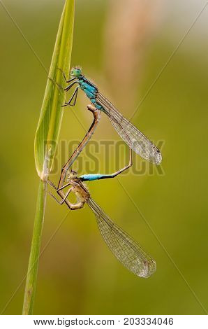 Beautiful Dragonfly Ischnura Elegans. Blue Tailed Damselfly