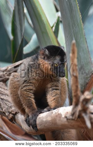 Scenic Image of a Cute Collared Lemur