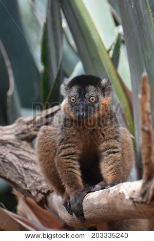 Beautiful Brown Collared Lemur with Amazing Eyes