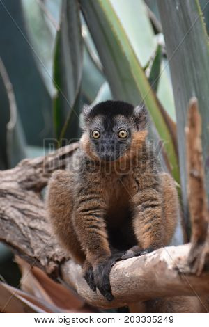 Cute Little Collared Lemur with Bulging Yellow Eyes