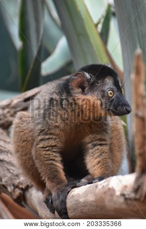 Adorable Little Collared Lemur Grabbing onto a Tree