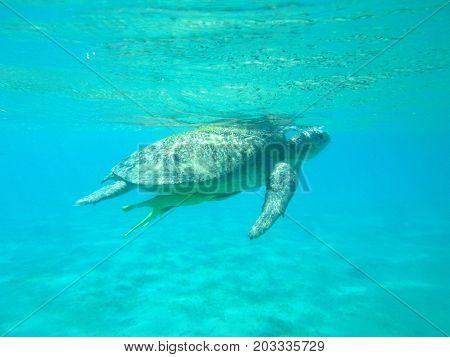 sea water-absorbing big turtle swims in the blue sea