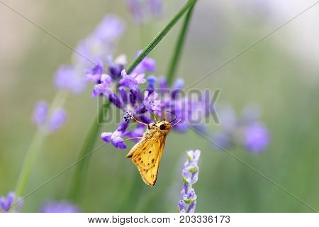 Fiery Skipper (Hylephila phyleus) male on Lavender. San Mateo County, California, USA.