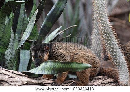 Adorable Brown Collared Lemur on a Tree