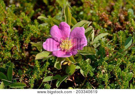 Tundra plants: Dwarf rose plant in May (Lat. Rosa majalis) among thickets of heather. Coast of the White Sea, Tersky coast, Kola Peninsula