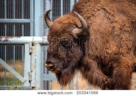 Close-up of wisent or Bison bonasus in captivity