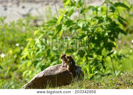 Chipmunks secrets on a rock with green background