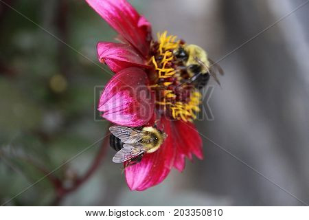 Busy Bumble bee checking out bright pink flower for summer time pollen collection.
