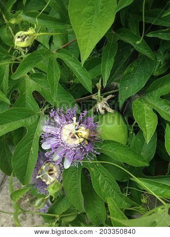 Amazing bumble bee collecting bright yellow pollen from a purple & white passion flower