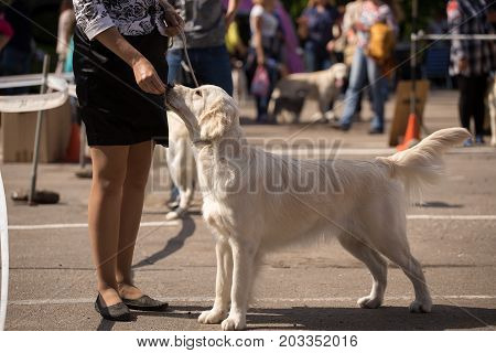 Golden Retriever at a Dog Show executes commands
