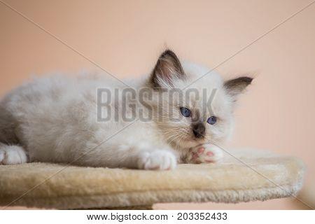 Kitten Sacred Birman On Beige Pink Background