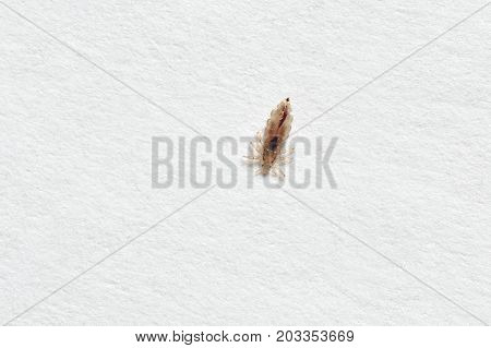 Insect Lice On A White Paper Background
