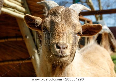 Dwarf Goat looking and smiling at you with his head turned to the side.