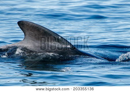 Pilot whale as seen during a whale watching tour in Iceland.