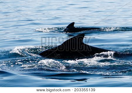 Pilot whales as seen during a whale watching tour in Iceland.