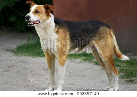 Portrait of a dog. A stray dog stands on the ground and looking to the side