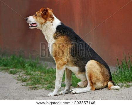 Portrait of a dog. A stray dog sits on the ground and looking to the side