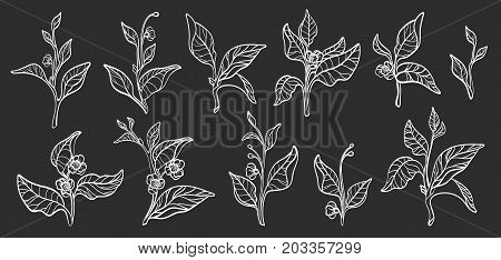Set of tea bush branches with leaves and flowers on black background. Botanical contour illustration. Realistic. Nature. Organic product. Vector isolated and grouped for easy editing eps.10