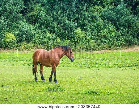 beautiful brown horse strolling in a meadow