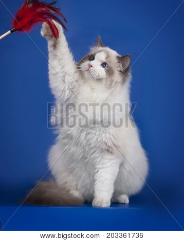 Fluffy white ragdoll kitten plays with a feather on a blue Studio background. Adorable white kitten with blue eyes.