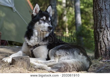 Dog Laying down Tent Camp Pine Forest