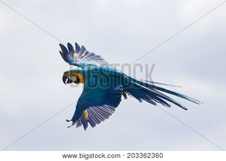 Blue and yellow or gold macaw (Ara ararauna) in flight. Wild parrot flying