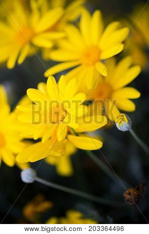 Close up of yellow daisy flower background