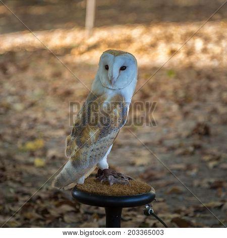 Close-up of White Common Barn Owl, Birds Theme