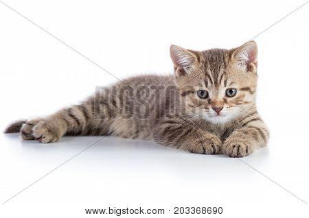 Cute scottish straight breed kitty lying on white background