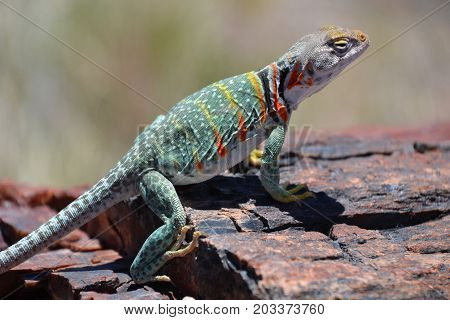 collard lizard in Arizona's Petrified forest / painted desert national parks which is lined with petrified wood and colorful sands