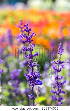 Salvia or sage flowers in the park on a colorful flower background